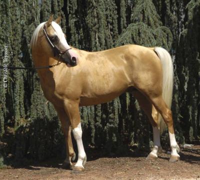 cheval arabe de couleur